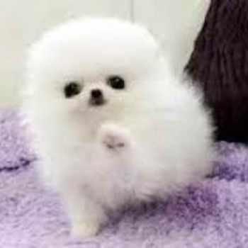 Adopting A Pomeranian Puppy
