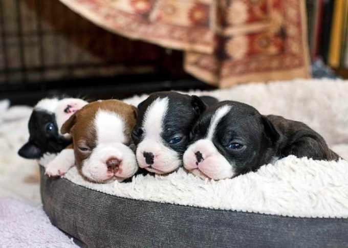 Adorable Boston Terrier Puppies