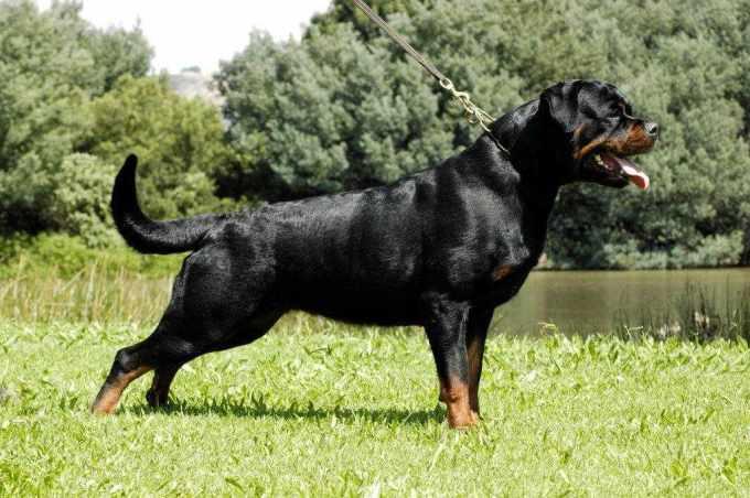 Adrk Rottweiler Breeders