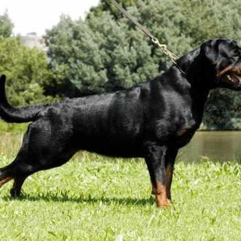 Adrk Rottweiler Puppies For Sale