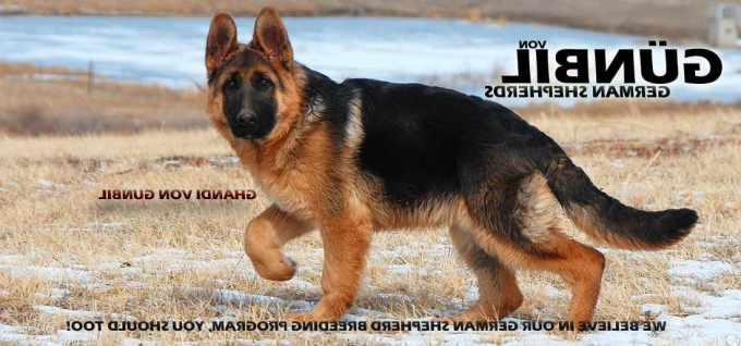 Adult German Shepherd Dogs For Sale