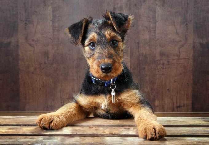 Airedale Terrier Craigslist
