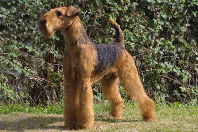 Airedale Terrier Indiana
