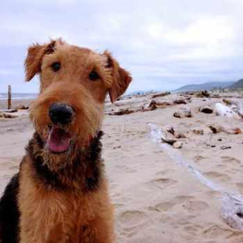 Airedale Terrier Oregon