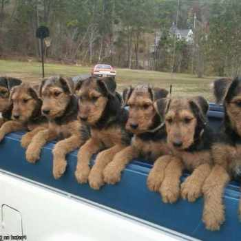 Airedale Terrier Puppies For Sale In Texas