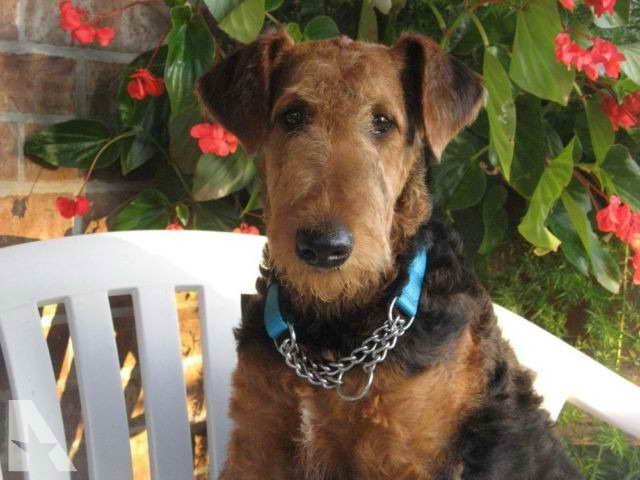 Airedale Terrier Puppies Missouri
