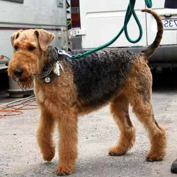 Airedale Terrier Puppies Ohio