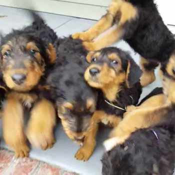Airedale Terrier Puppies Price