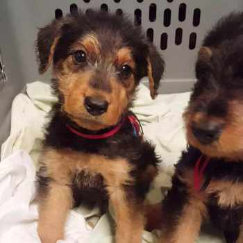 Airedale Terrier Puppy For Sale