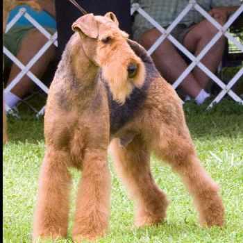 Airedale Terrier Rescue Az