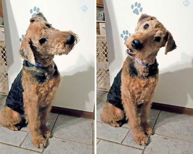 Airedale Terrier Rescue Ohio