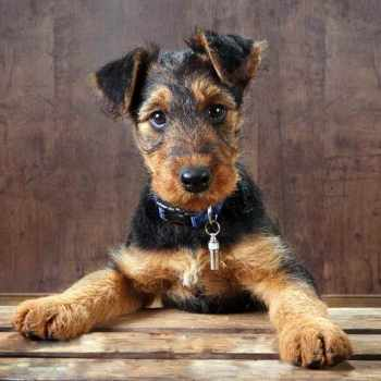 Airedale Terrier Rescue Puppies For Sale