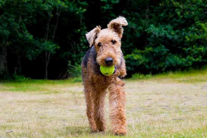 Airedale Terrier Training