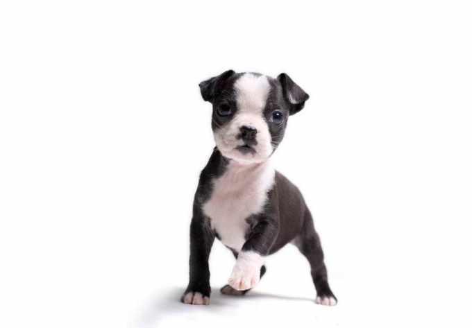 Akc Boston Terrier Breeders