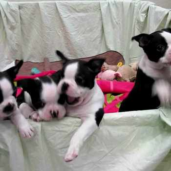 Akc Boston Terrier Puppies For Sale