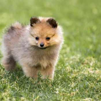 Akc Pomeranian Breeders