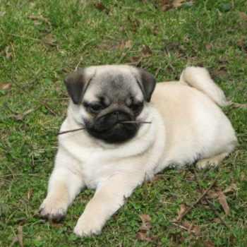 Akc Pug Puppies