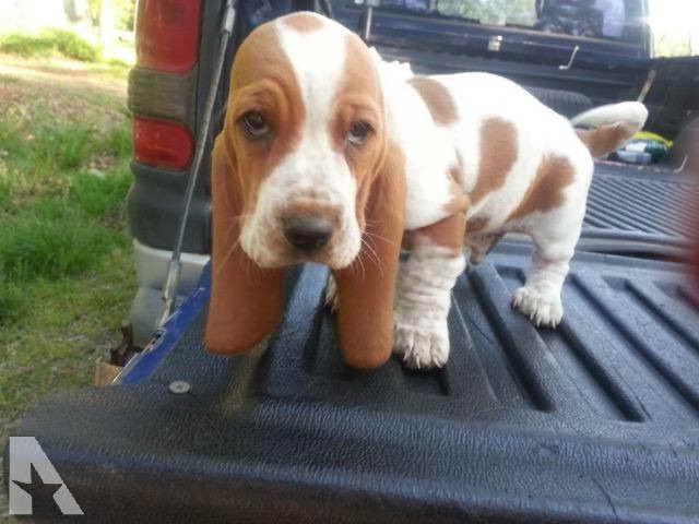 Akc Registered Basset Hound Puppies For Sale