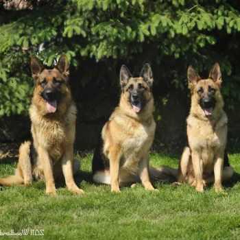 Akc Registered German Shepherd Puppies For Sale