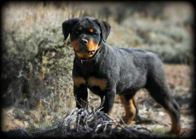 Akc Rottweiler Puppies For Sale In Louisiana