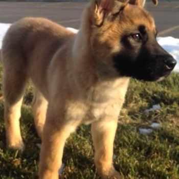 Akita German Shepherd Mix Puppies For Sale