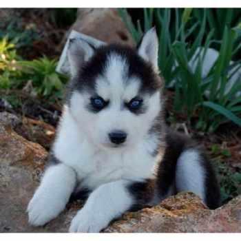 Alaskan Husky Miniature Puppies