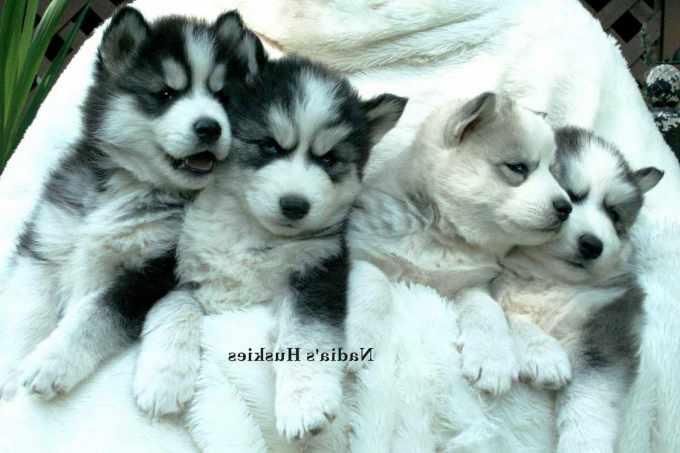 Alaskan Husky Puppies For Sale In Ga