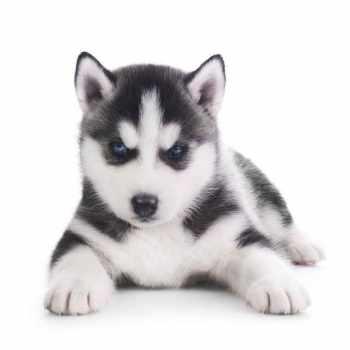 Alaskan Names For Husky