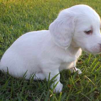 Albino Dachshund For Sale