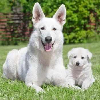 Albino German Shepherd Puppy