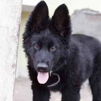 All Black German Shepherd For Sale