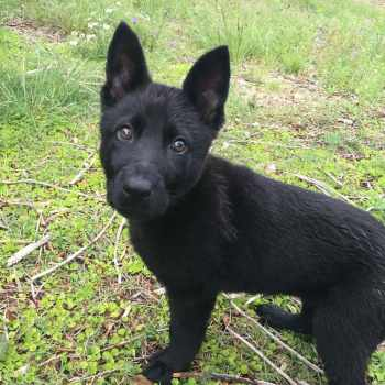 All Black German Shepherd Puppies For Sale