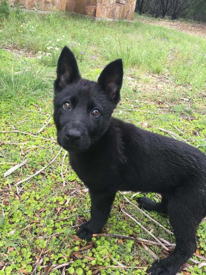All Black German Shepherd Puppies For Sale