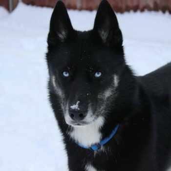 All Black Siberian Husky