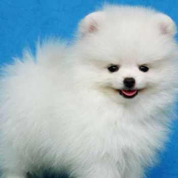 All White Pomeranian