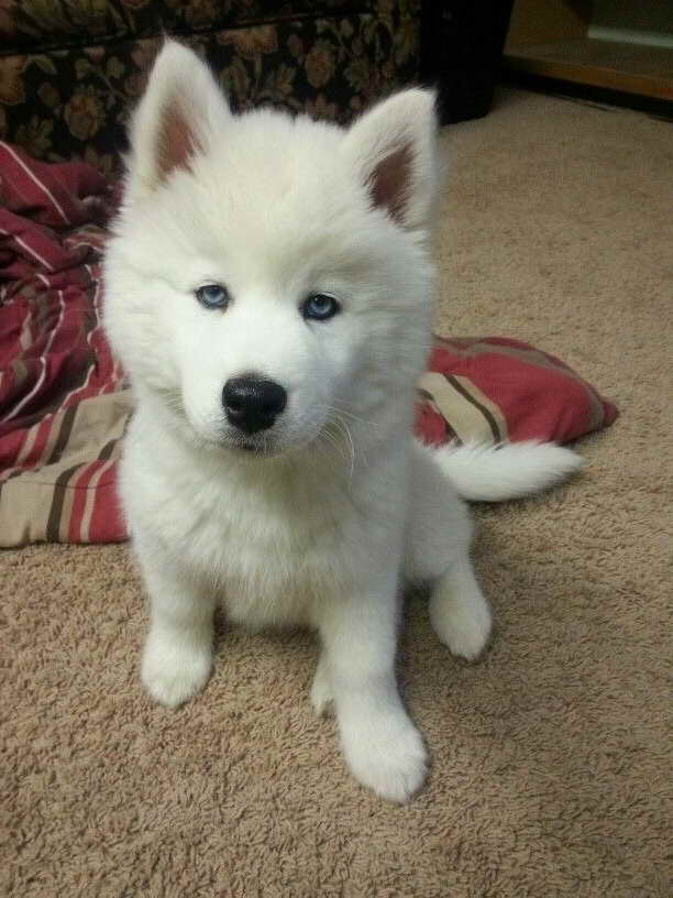 All White Siberian Husky Puppy
