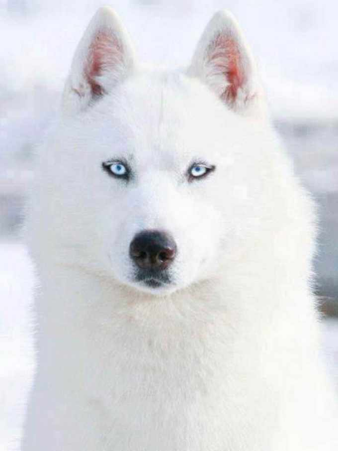 All White Siberian Husky With Blue Eyes