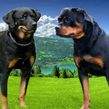 American And German Rottweiler