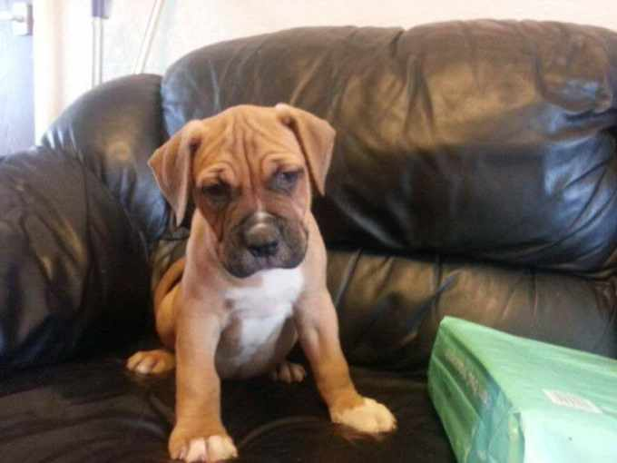 American Bulldog Mastiff Mix Puppies For Sale