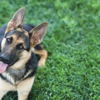 American Kennel Club German Shepherd
