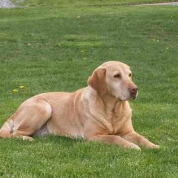 American Labrador Breeders