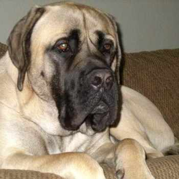 American Mastiff Adoption