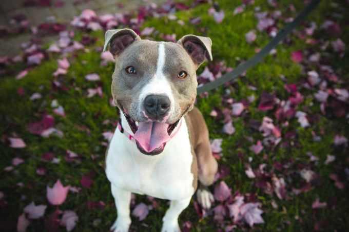 American Pit Bull Terrier Temperament Stubborn