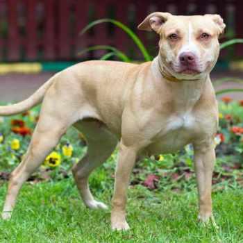 American Pitbull Terrier Akc
