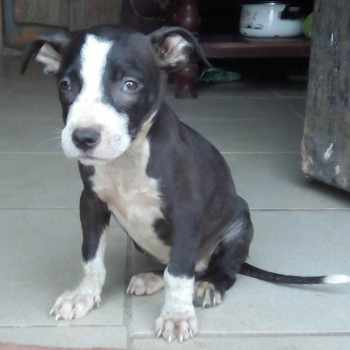 American Pitbull Terrier Puppies For Free