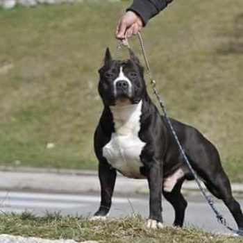 American Staffordshire Bull Terrier For Sale