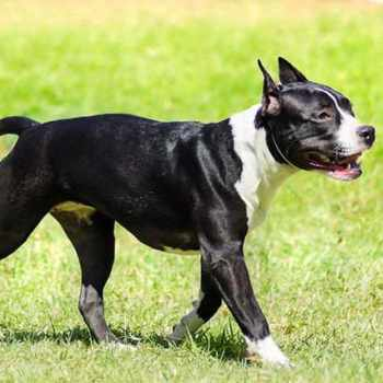 American Staffordshire Terrier Temperment