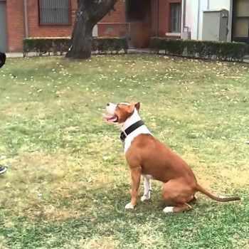 American Staffordshire Terrier Training