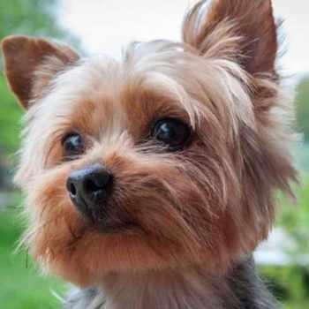 American Yorkshire Terrier