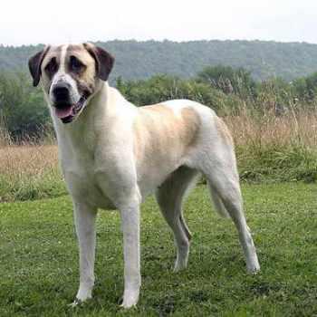 Anatolian Mastiff